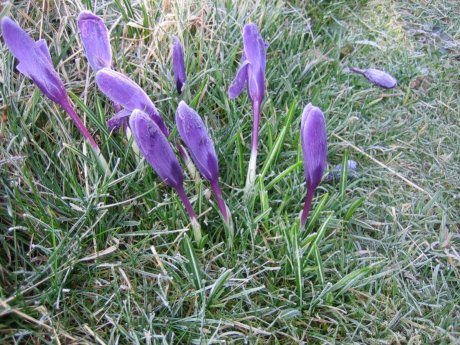 flowers limp in the frost
